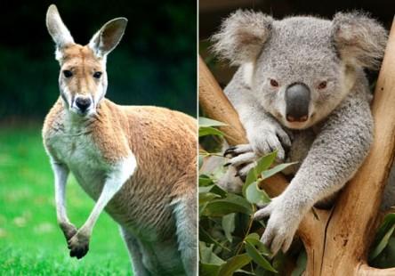koala-kangaroo